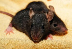 rat-435950