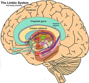 The_Limbic_System_and_Nearby_Structures_-_John_Taylor