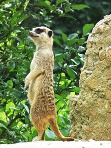 meerkat-425474