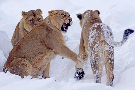 lion-855687