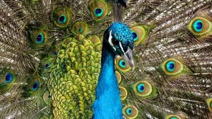peacock-90051